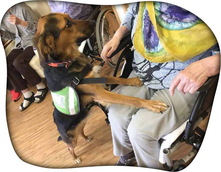 Alma Therapiehund Seniorenheim-Rollstuhl